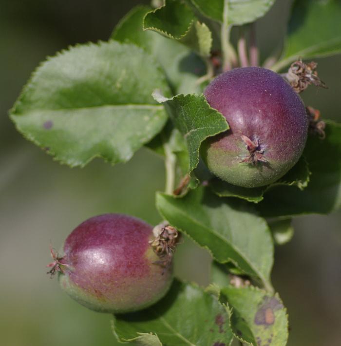 apples - not ripe yet