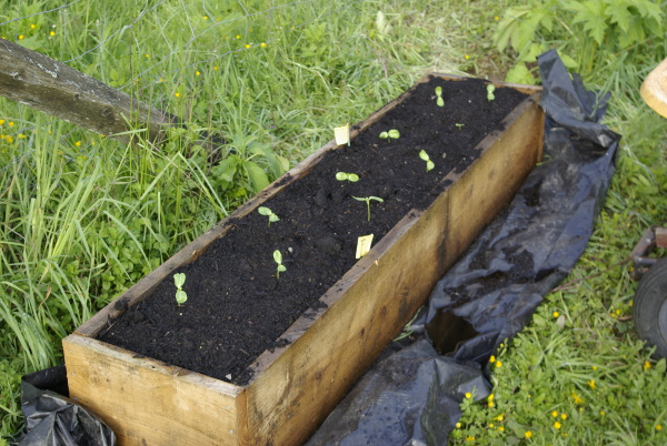 baby sunflowers in raised bed