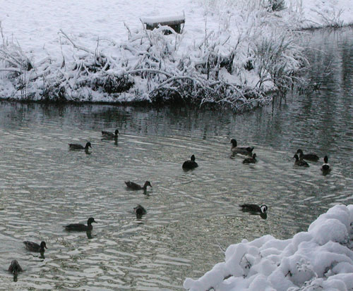 Our young mallard ducks on the pond