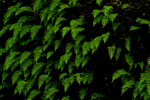 Sword Ferns - click for larger image