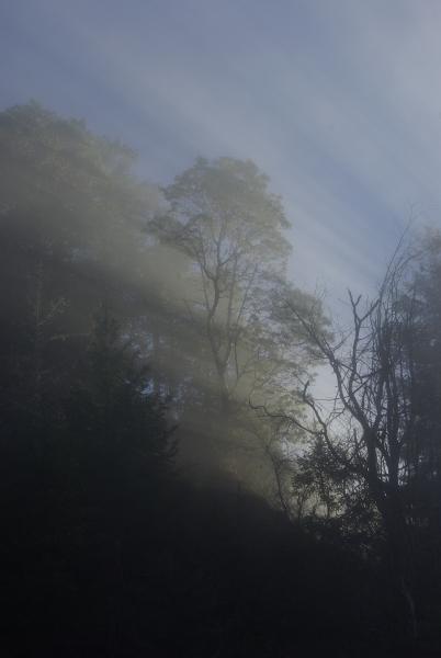 Fog, sun rays, madrone