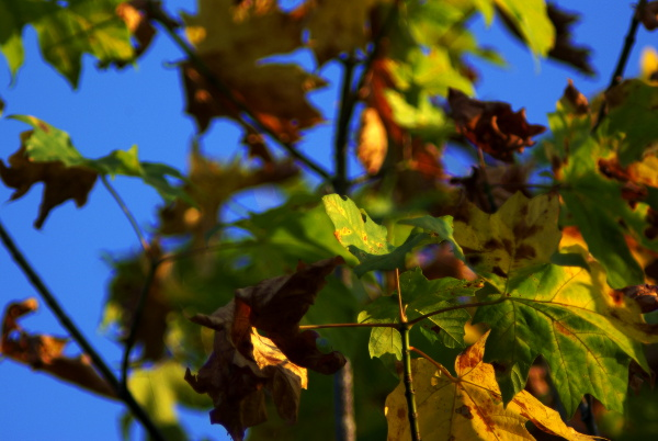 Fall Maple Leaves - click for larger image